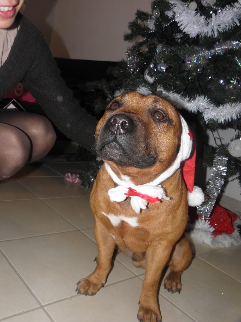 Hélyos, mon Staffordshire Bull-Terrier Pc250010