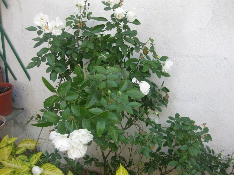 mes roses de decembre  Anni_015