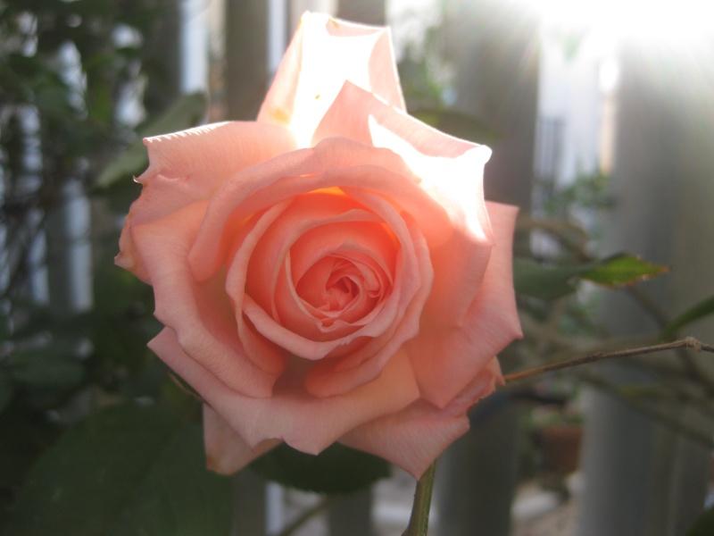 mes roses de decembre  Anni_016