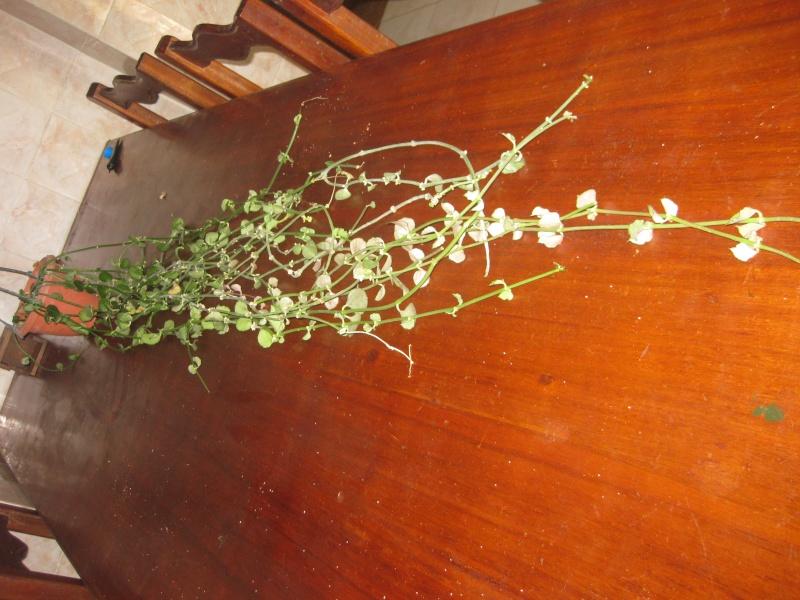 Plante d'appartement peut-être hoya ? non :  ceropegia sandersonii ou plante parachute  - Page 2 Hibicu11
