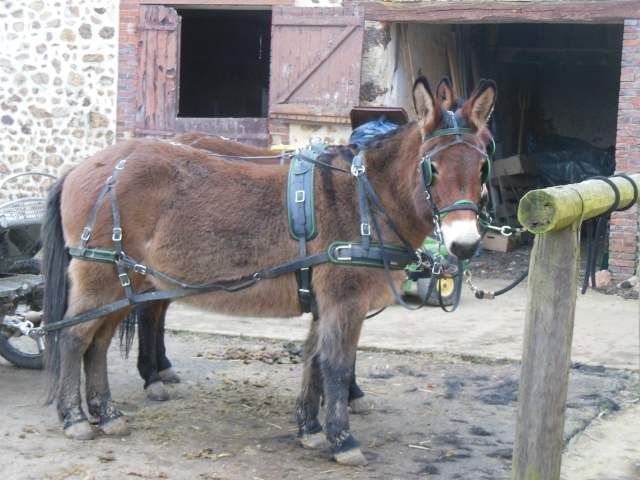 Mon projet d'attelage à 4 mules pas à pas ... Dscn1111