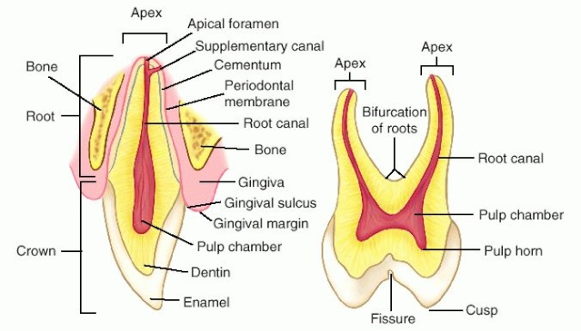 Chipped Tooth with Cavity Canine10