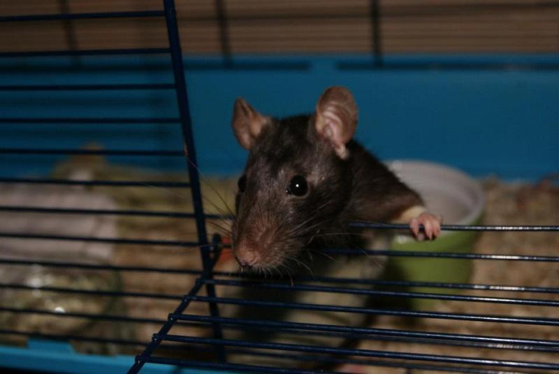 62 rats à placer, besoin de FA, asso,... 29269810