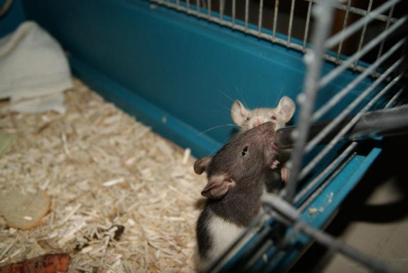 62 rats à placer, besoin de FA, asso,... 42664410