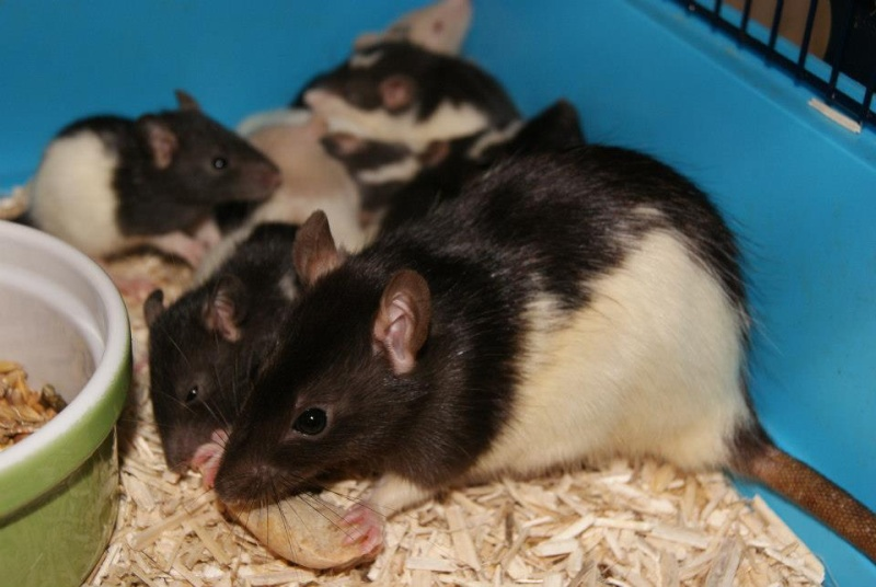62 rats à placer, besoin de FA, asso,... 56376010