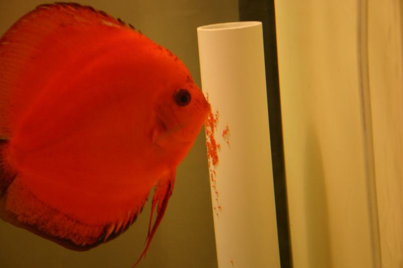 ponte de discus rouge Discus21