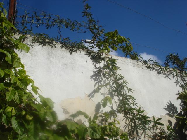 Les passiflora en zone subtropicale Caerul10