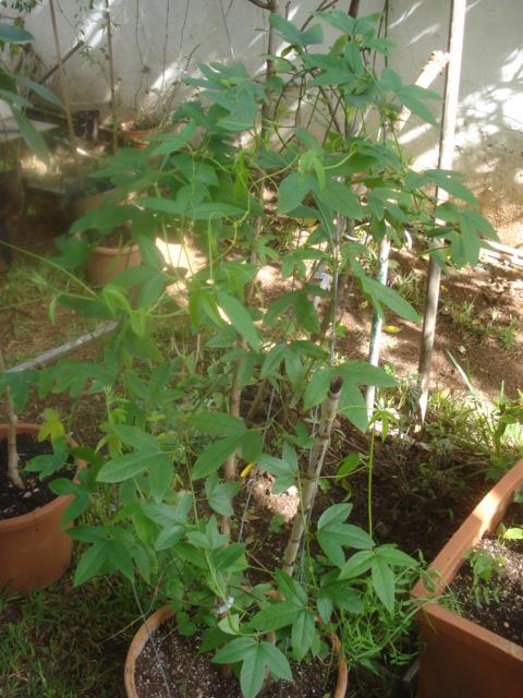 Les passiflora en zone subtropicale Coral_10