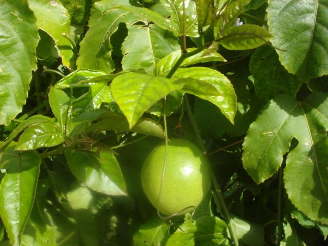 Les passiflora en zone subtropicale Flavic10