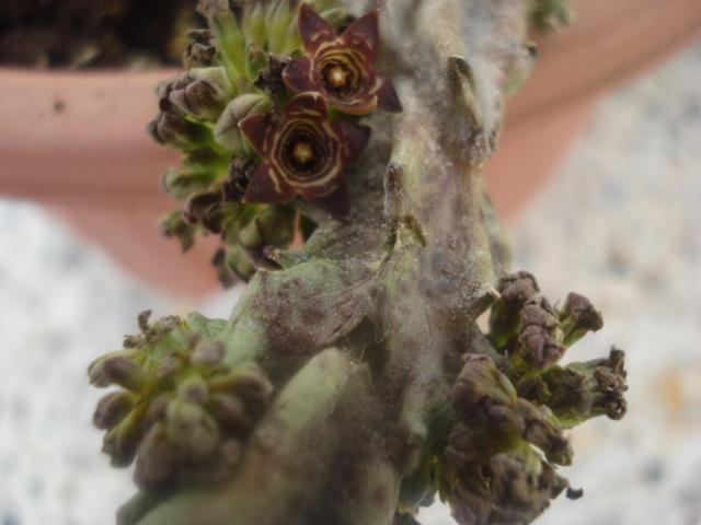 Huernia : Rien que des surprises avec  ces plantes - Page 2 Huerni10