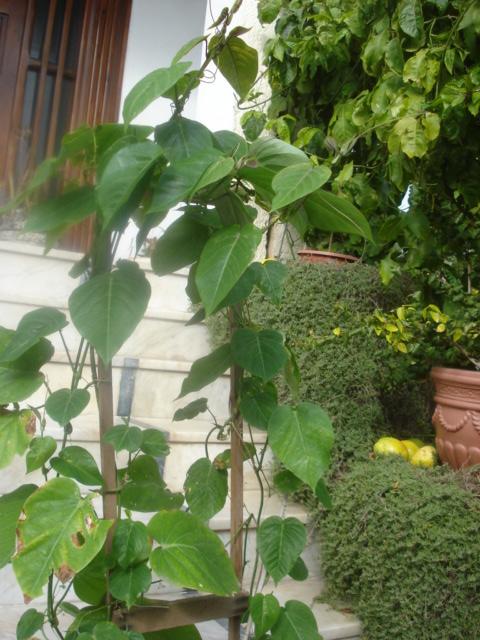 Les passiflora en zone subtropicale Ligula10
