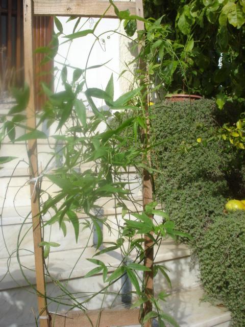 Les passiflora en zone subtropicale Moliss10