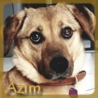 Affiche des chiens à l'adoption  A PARTAGER * IMPRIMER * DIFFUSER Azim11