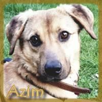 Affiche des chiens à l'adoption  A PARTAGER * IMPRIMER * DIFFUSER Azim_210