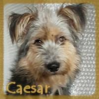 Affiche des chiens à l'adoption  A PARTAGER * IMPRIMER * DIFFUSER Caesar10