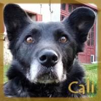 Affiche des chiens à l'adoption  A PARTAGER * IMPRIMER * DIFFUSER Cali_v10