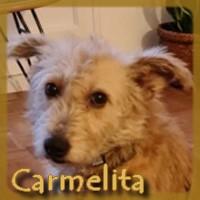 Affiche des chiens à l'adoption  A PARTAGER * IMPRIMER * DIFFUSER Carmel10