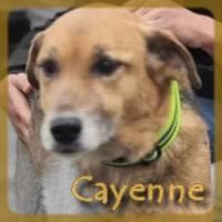 Affiche des chiens à l'adoption  A PARTAGER * IMPRIMER * DIFFUSER Cayenn10