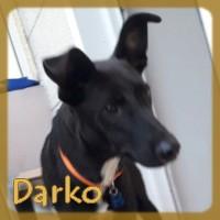 Affiche des chiens à l'adoption  A PARTAGER * IMPRIMER * DIFFUSER Darko_11