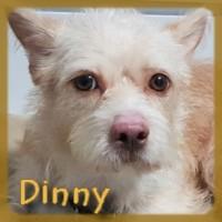 Affiche des chiens à l'adoption  A PARTAGER * IMPRIMER * DIFFUSER Dinny_10