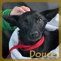Affiche des chiens à l'adoption  A PARTAGER * IMPRIMER * DIFFUSER Douce_10