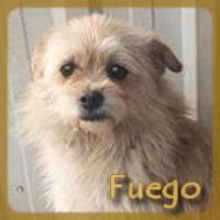 Affiche des chiens à l'adoption  A PARTAGER * IMPRIMER * DIFFUSER Fuego_10