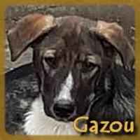 Affiche des chiens à l'adoption  A PARTAGER * IMPRIMER * DIFFUSER Gazou_10