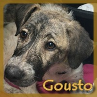Affiche des chiens à l'adoption  A PARTAGER * IMPRIMER * DIFFUSER Gousto10