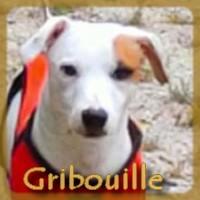 Affiche des chiens à l'adoption  A PARTAGER * IMPRIMER * DIFFUSER Gribou10