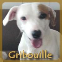 Affiche des chiens à l'adoption  A PARTAGER * IMPRIMER * DIFFUSER Gribou11
