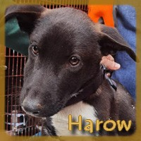 Affiche des chiens à l'adoption  A PARTAGER * IMPRIMER * DIFFUSER Harow_10