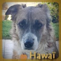 Affiche des chiens à l'adoption  A PARTAGER * IMPRIMER * DIFFUSER Hawazc10