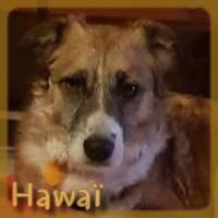 Affiche des chiens à l'adoption  A PARTAGER * IMPRIMER * DIFFUSER Hawazc11