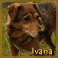 Affiche des chiens à l'adoption  A PARTAGER * IMPRIMER * DIFFUSER Ivana_10