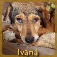 Affiche des chiens à l'adoption  A PARTAGER * IMPRIMER * DIFFUSER Ivana_11