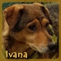 Affiche des chiens à l'adoption  A PARTAGER * IMPRIMER * DIFFUSER Ivana_12