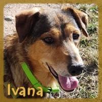 Affiche des chiens à l'adoption  A PARTAGER * IMPRIMER * DIFFUSER Ivana_13