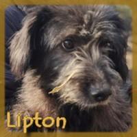 Affiche des chiens à l'adoption  A PARTAGER * IMPRIMER * DIFFUSER Lipton10