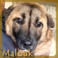 Affiche des chiens à l'adoption  A PARTAGER * IMPRIMER * DIFFUSER Malouk10