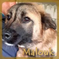 Affiche des chiens à l'adoption  A PARTAGER * IMPRIMER * DIFFUSER Malouk11