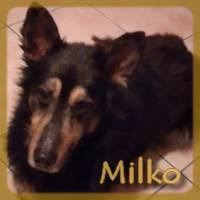 Affiche des chiens à l'adoption  A PARTAGER * IMPRIMER * DIFFUSER Milko_11