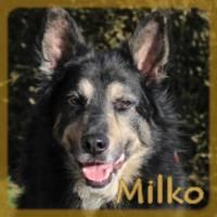 Affiche des chiens à l'adoption  A PARTAGER * IMPRIMER * DIFFUSER Milko_12