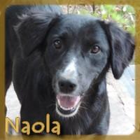 Affiche des chiens à l'adoption  A PARTAGER * IMPRIMER * DIFFUSER Naola_10