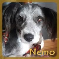 Affiche des chiens à l'adoption  A PARTAGER * IMPRIMER * DIFFUSER Nemo_v10