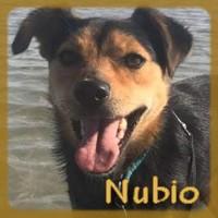 Affiche des chiens à l'adoption  A PARTAGER * IMPRIMER * DIFFUSER Nubio11