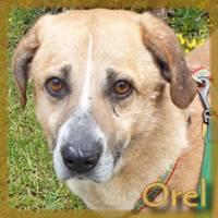 Affiche des chiens à l'adoption  A PARTAGER * IMPRIMER * DIFFUSER Orel10