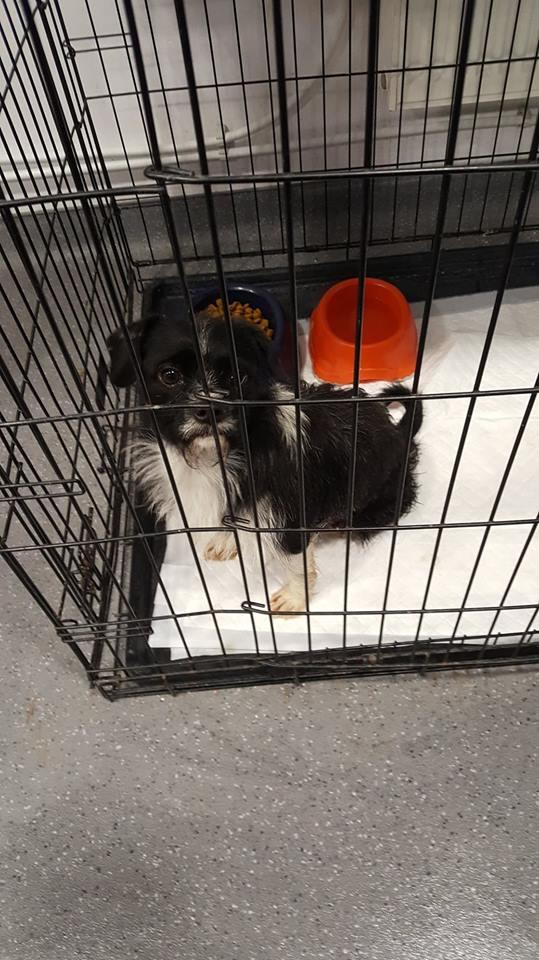PICOLO - petit chien noir et blanc 7 ans - Asso Arche d'Eternité - Lenuta (Roumanie) Petit_13