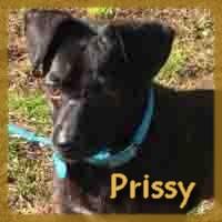 Affiche des chiens à l'adoption  A PARTAGER * IMPRIMER * DIFFUSER Prissy11