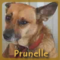 Affiche des chiens à l'adoption  A PARTAGER * IMPRIMER * DIFFUSER Prunel10