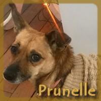 Affiche des chiens à l'adoption  A PARTAGER * IMPRIMER * DIFFUSER Prunel11
